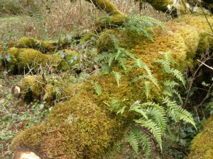 Licorice fern (Polypodium glycyrrhiza) on snow-downed oak branch